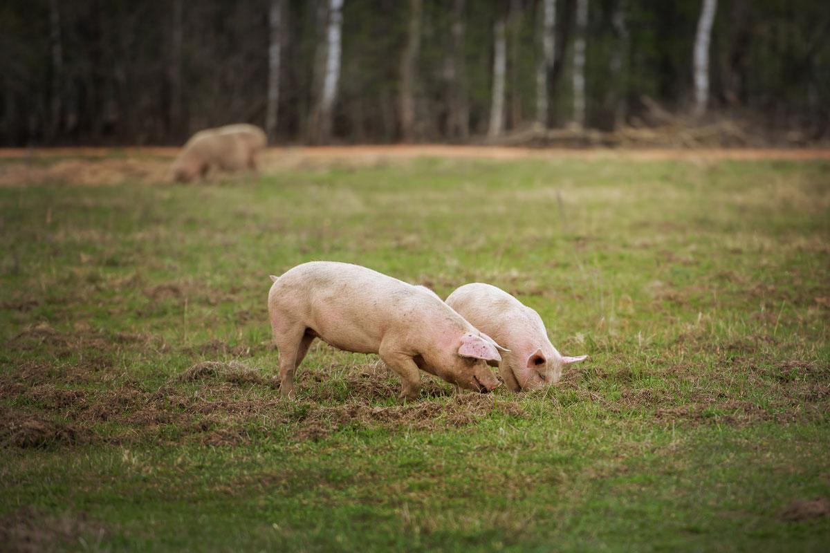 Cerdo Cruzado